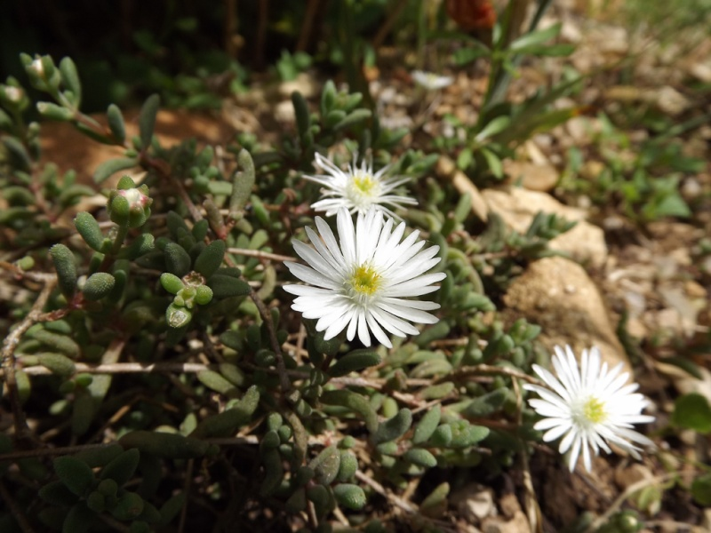 Delosperma karooicum 'Graaf Reinet' Delosp10