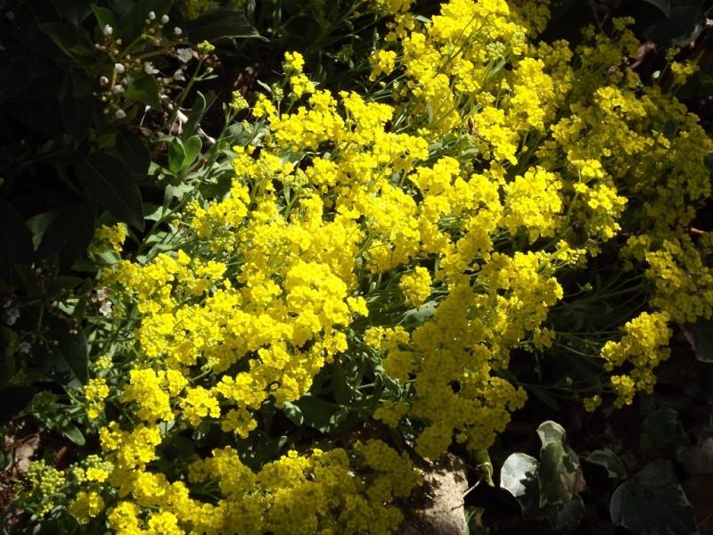 Aurinia saxatilis (= Alyssum saxatile) - aurinie des rochers, alysse corbeille d'or  Dscf6811