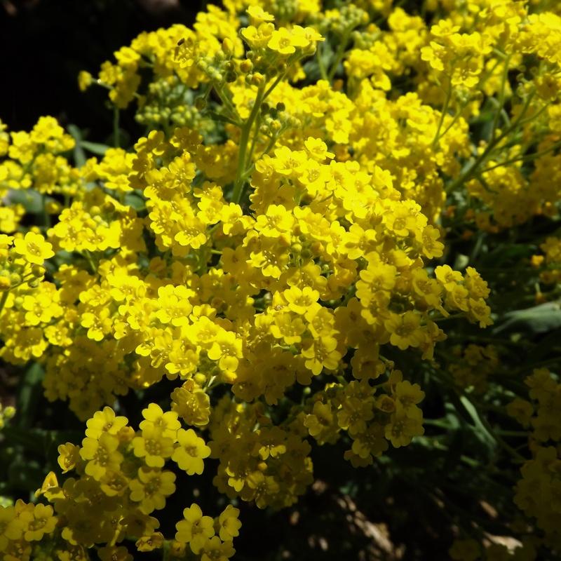 Aurinia saxatilis (= Alyssum saxatile) - aurinie des rochers, alysse corbeille d'or  Dscf6812
