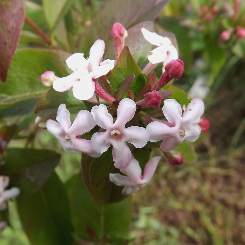 Abelia mosanensis Dscf7017