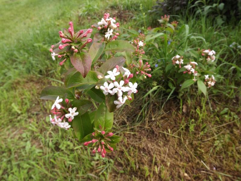 Abelia mosanensis Dscf7018