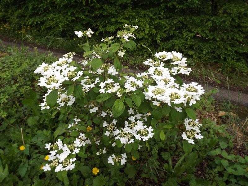 Viburnum plicatum Dscf7023