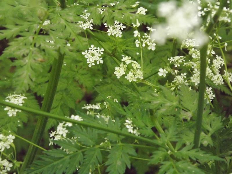 Lactuca perennis, Sisyrinchium sp., Anthriscus ? [id. non terminée] Dscf7025