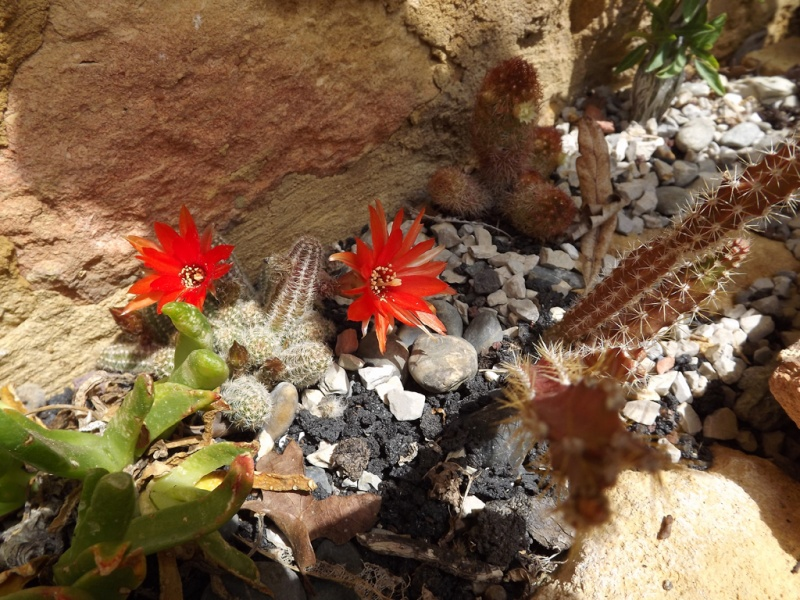 Echinopsis chamaecereus (= Chamaecereus sylvestrii) Dscf7110