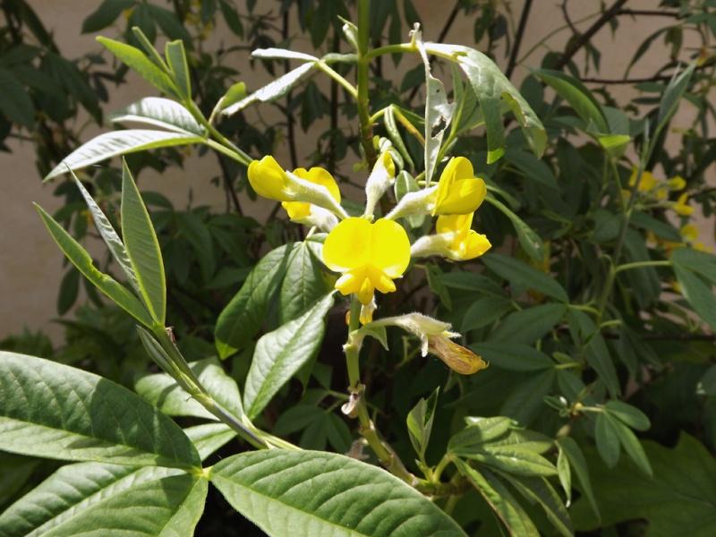 Piptanthus nepalensis Dscf7111