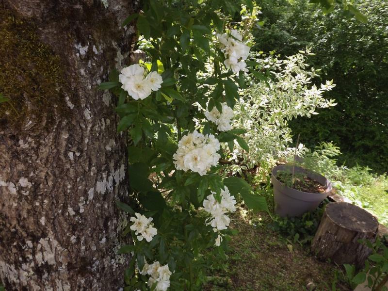rosier 'Purezza' = Rosa banksiae 'Purezza' - Page 2 Dscf7112