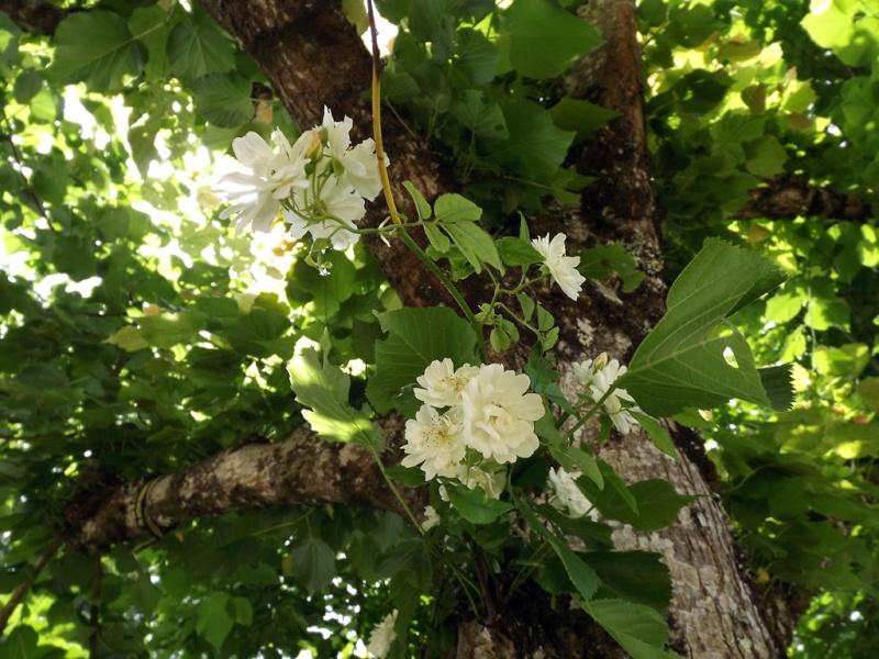 rosier 'Purezza' = Rosa banksiae 'Purezza' - Page 2 Dscf7113