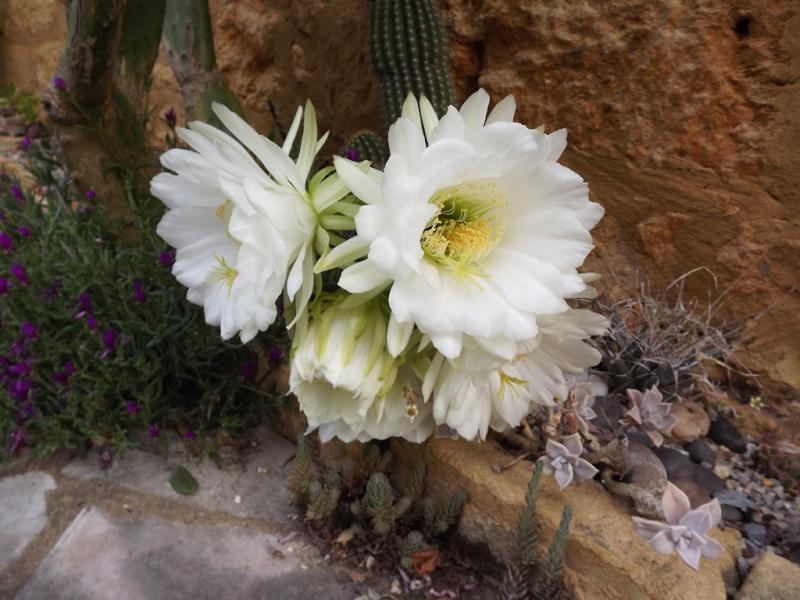 cactus - floraisons de mai 2015 Dscf7313