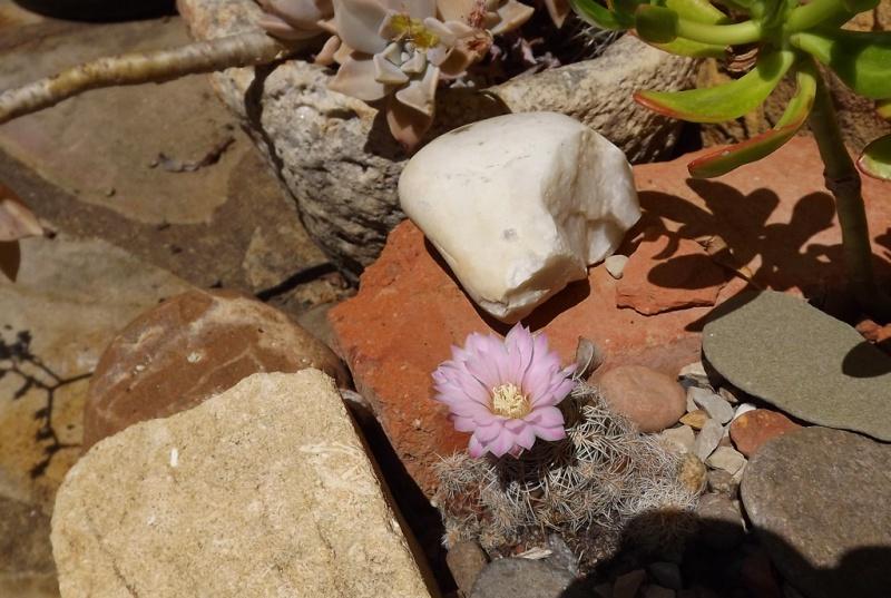 cactus - floraisons de mai 2015 Dscf7314