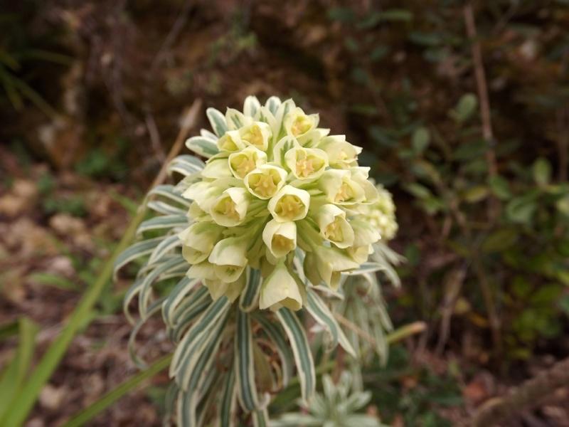 Euphorbia characias - Page 2 Euphor14