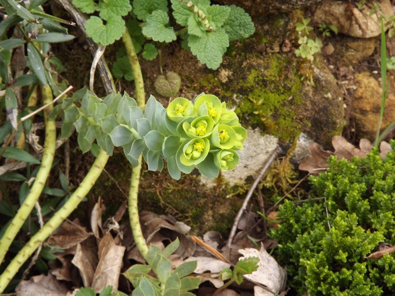 Euphorbia myrsinites  - euphorbe de Corse, euphorbe faux-myrte Euphor16