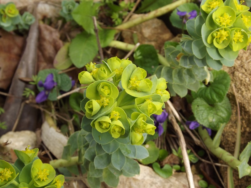 Euphorbia myrsinites  - euphorbe de Corse, euphorbe faux-myrte Euphor17