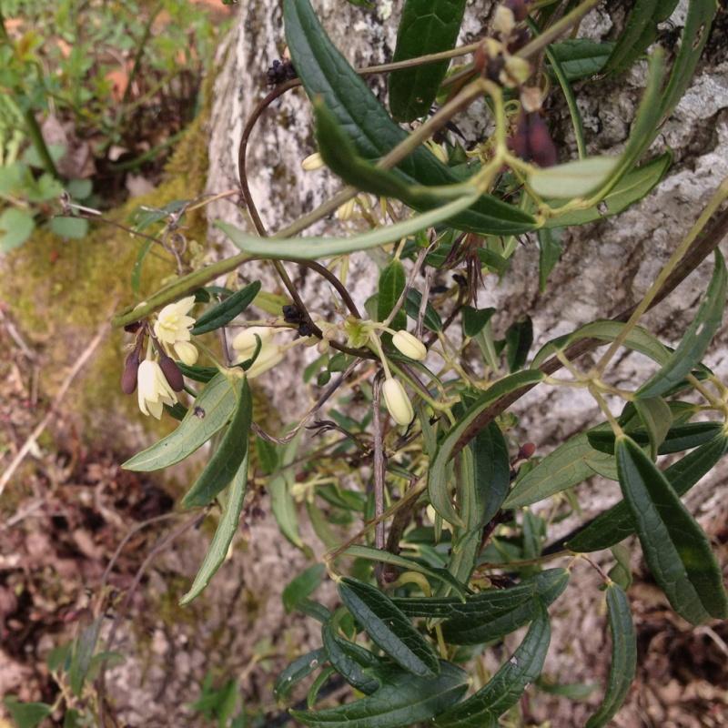 Lardizabalaceae grimpantes Holboe10