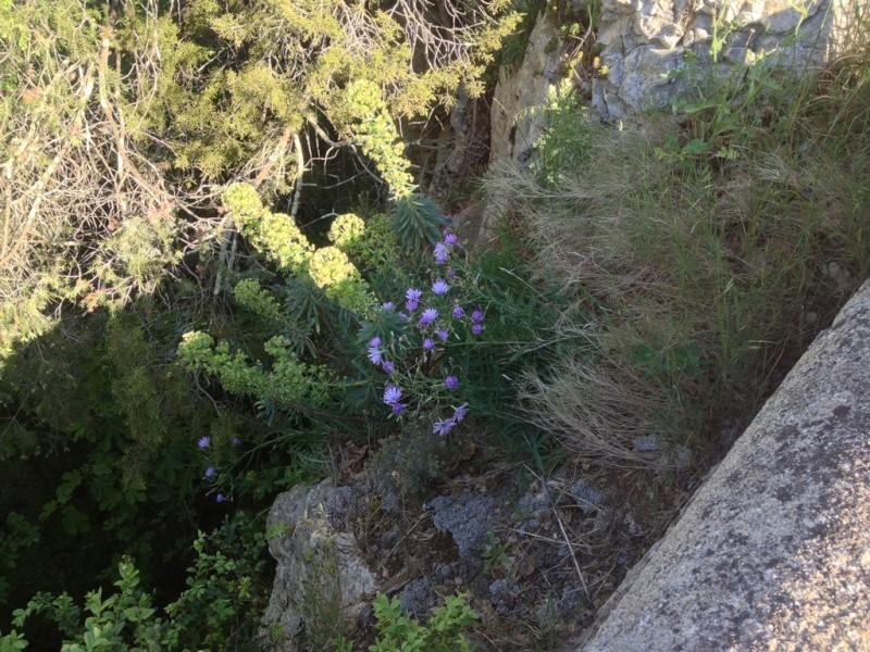 Lactuca perennis, Sisyrinchium sp., Anthriscus ? [id. non terminée] Id_110