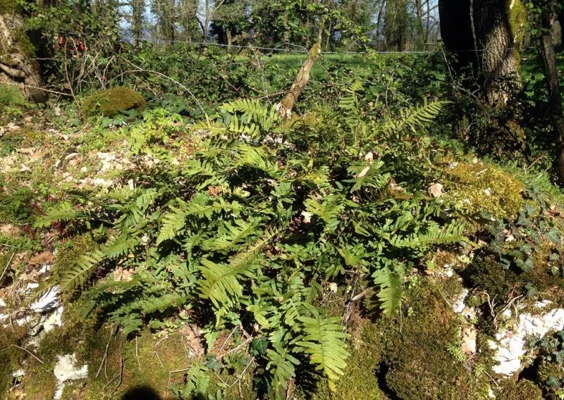 flore des vieux murs, rochers  et rocailles naturelles - Page 6 Img_1316