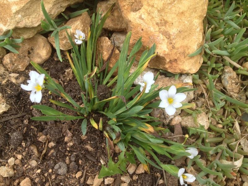 Lactuca perennis, Sisyrinchium sp., Anthriscus ? [id. non terminée] Img_1410