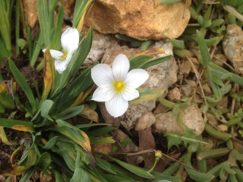 Lactuca perennis, Sisyrinchium sp., Anthriscus ? [id. non terminée] Img_1411