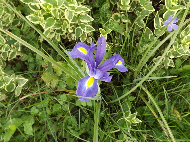 le joli mois de mai des fous jardiniers - Page 2 Iris_x10