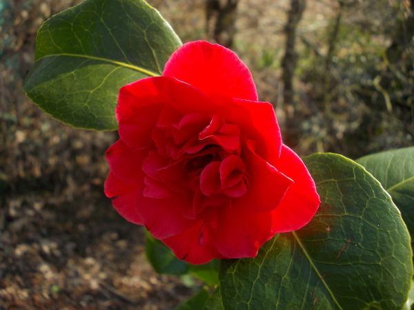 Camellia !!! - Page 7 Dscn0212
