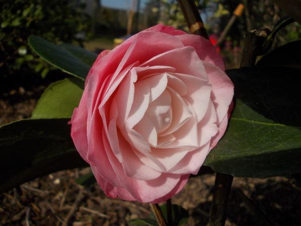 Camellia !!! - Page 8 Dscn7614