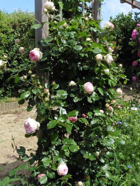 Rosa 'Pierre de Ronsard' !!! - Page 2 P1130310