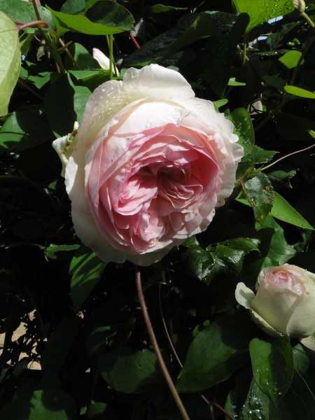 Rosa 'Pierre de Ronsard' !!! - Page 2 P1130411