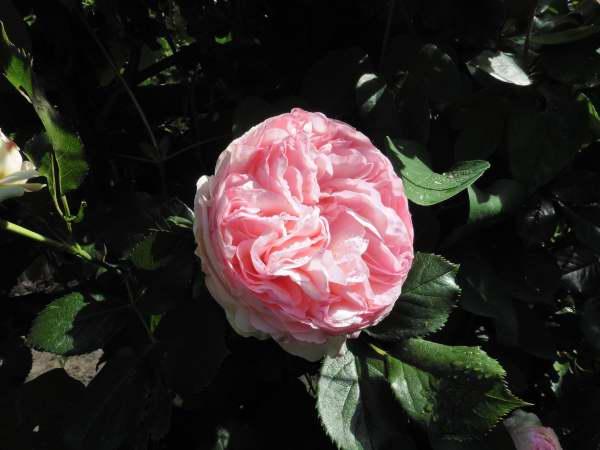 Rosa 'Pierre de Ronsard' !!! - Page 2 P1130412