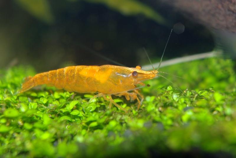 Crevettes encadrées Non_ed10