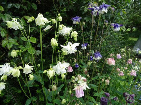 le joli mois de mai des fous jardiniers - Page 8 Ancoli10