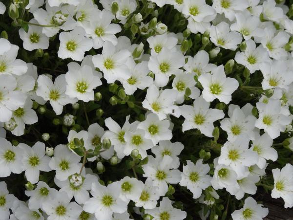 le joli mois de mai des fous jardiniers - Page 5 Arenar10