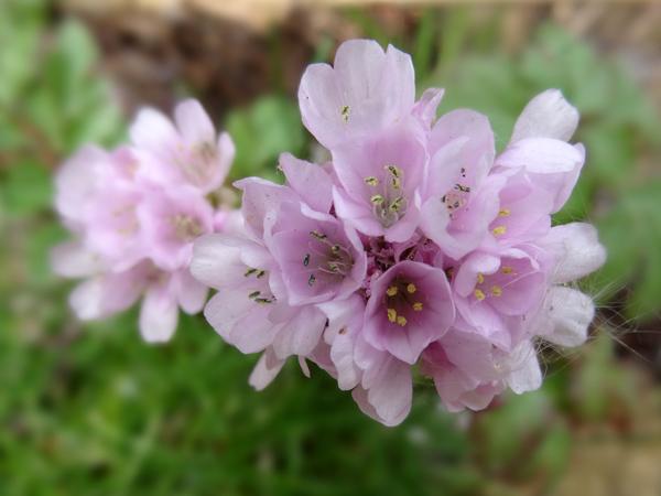 le joli mois de mai des fous jardiniers - Page 5 Armeri10
