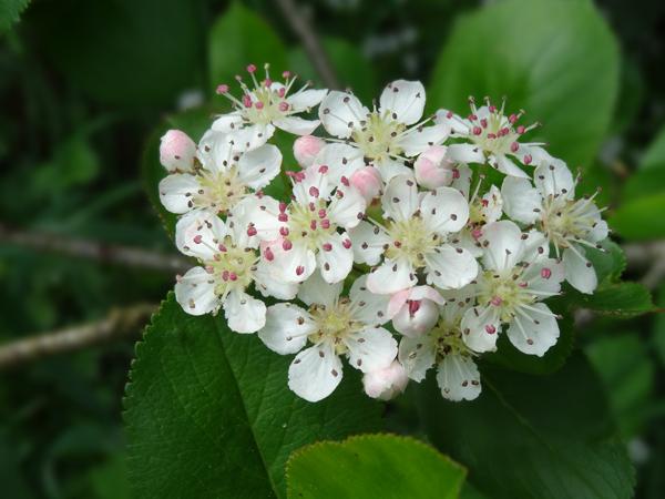 le joli mois de mai des fous jardiniers - Page 5 Aronia10