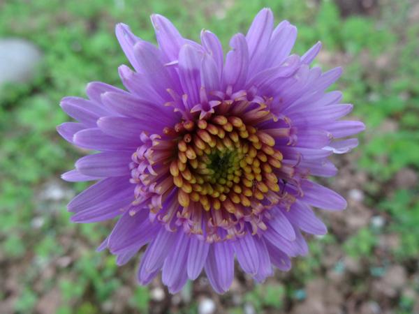 le joli mois de mai des fous jardiniers - Page 8 Aster_10