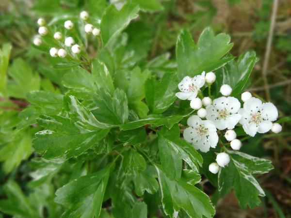 le joli mois de mai des fous jardiniers - Page 5 Aubypi10