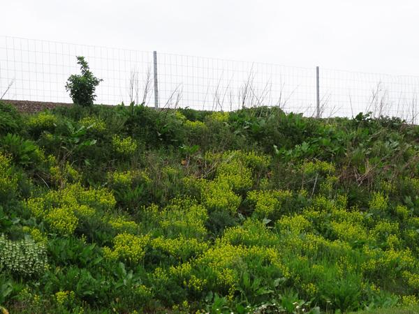 Barbarea vulgaris - barbarée commune Barbar12