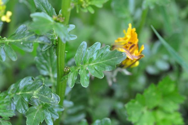 Barbarea vulgaris - barbarée commune Barbar16