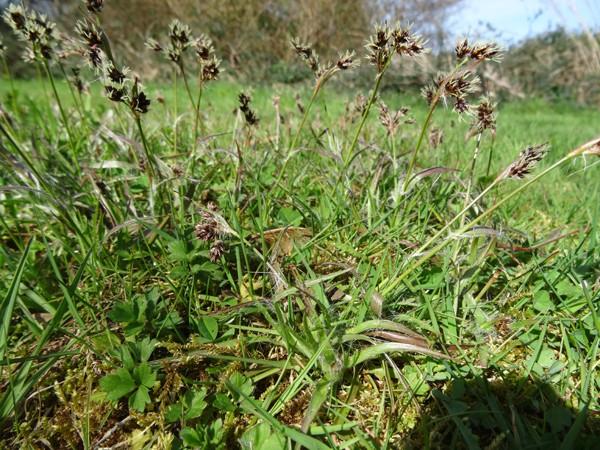 Luzula campestris - luzule champêtre [identification] Carex11