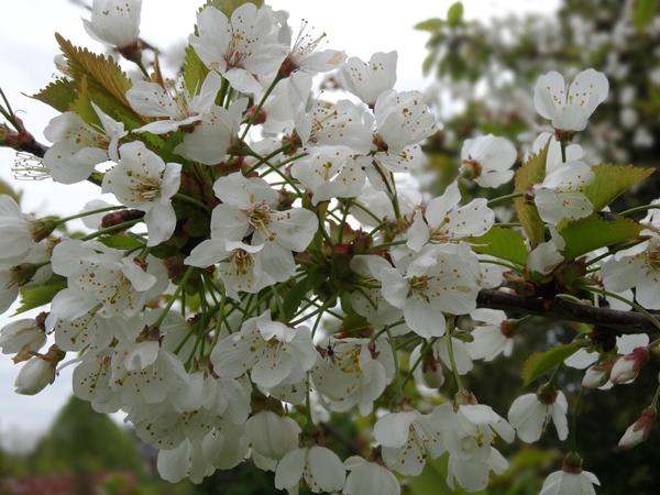 le joli mois de mai des fous jardiniers Cerisi10