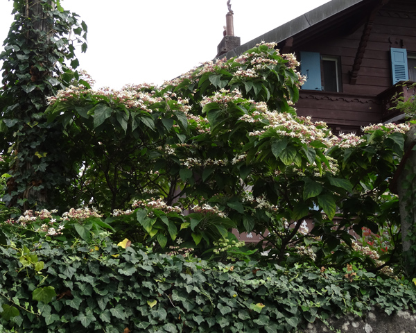 Clerodendrum trichotomum Clerod10