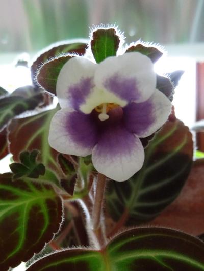 Episcia dianthiflora (= Alsobia dianthiflora) Gloxin10