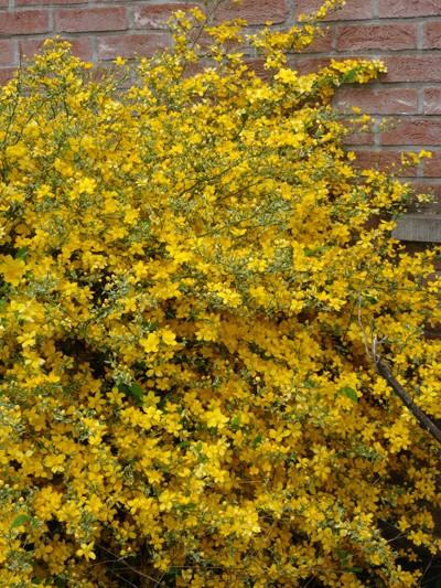 Kerria japonica - corète du Japon Kerria12