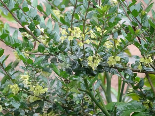 Lonicera nitida - chèvrefeuille arbustif Lonice10