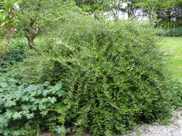 Lonicera nitida - chèvrefeuille arbustif Lonice11