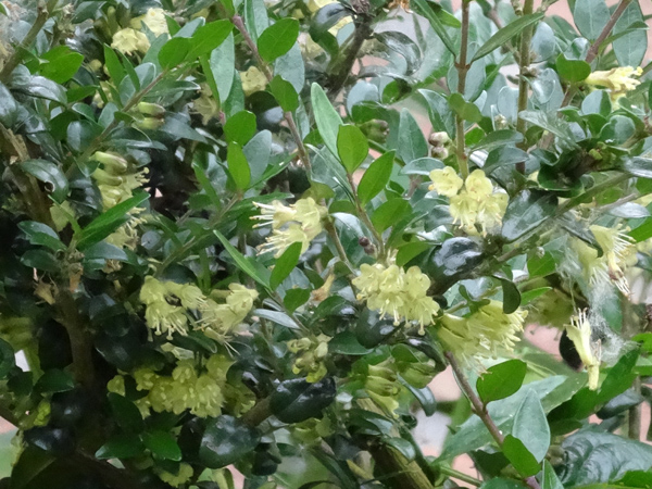 Lonicera nitida - chèvrefeuille arbustif Lonice12