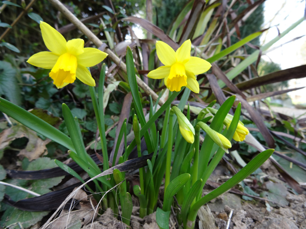 premiers sourires du jardin - Page 3 Narcis10