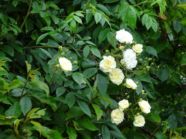 Rosa banksiae 'Albo Plena' Ob_c1f11