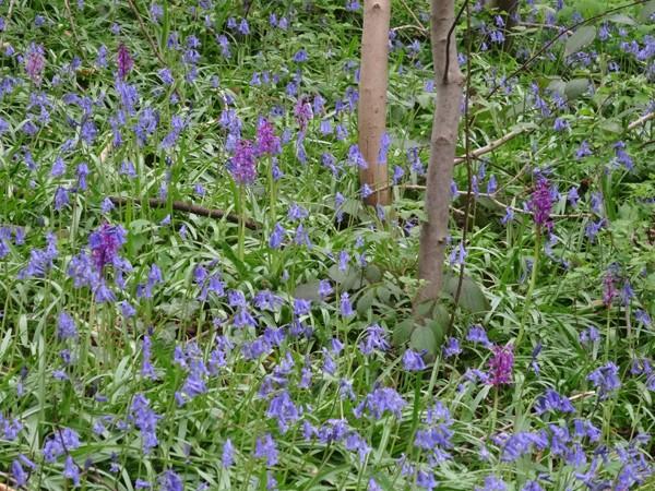 le joli mois de mai des fous jardiniers Orchis14