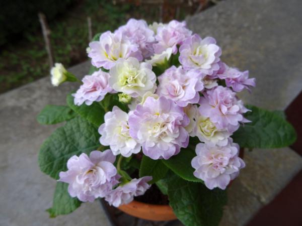 Primula vulgaris - primevère commune, primevère acaule P_bela10