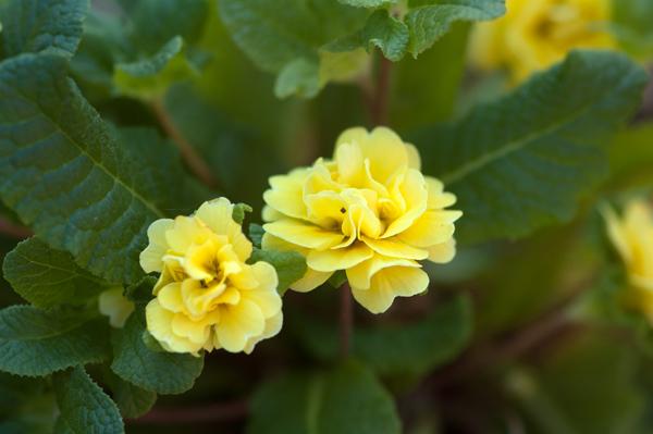 Primula vulgaris - primevère commune, primevère acaule - Page 2 P_bela11