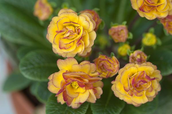 Primula vulgaris - primevère commune, primevère acaule - Page 2 P_bela12